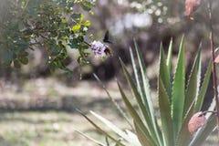 2 Pipevine Swallowtail motyli ziemia na kwiacie obraz royalty free
