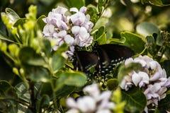2 Pipevine Swallowtail motyli ziemia na kwiacie zdjęcia stock