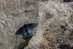 Pipevine Swallowtail na skale fotografia stock