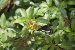 Pipevine Swallowtail Nectaring on a Firebush in a Southern Florida Garden. Pipevine Swallowtail Battus philenor in Flight Nectaring on a FirebushHamelia patens royalty free stock images