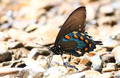 Pipevine Swallowtail (philenor de Battus) Foto de Stock Royalty Free