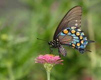 pipevineswallowtail arkivbild