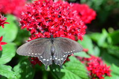 Pipewine Swallowtail Butterfly on the Red Flower Royalty Free Stock Photography