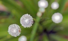 Pipewort, цветок рода Eriocaulon Стоковое Изображение RF