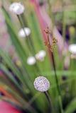Pipewort, цветок рода Eriocaulon Стоковые Изображения RF