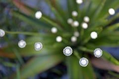 Pipewort, bloem van de Soort Eriocaulon Royalty-vrije Stock Afbeeldingen