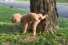 Pipi d'orinata del barboncino maschio sul tronco di albero per segnare territorio immagine stock libera da diritti