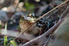 Pipiens nordici di Lithobates della rana di leopardo in uno stagno immagini stock