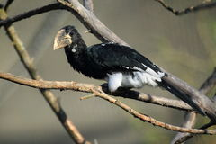 Piping hornbill Stock Photography