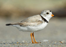 Free Piping Plover Royalty Free Stock Photos - 11615798
