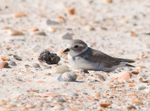 Piping Plover. Photograph of an endangered Piping Plover on a Florida beach stock images