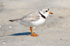 Piping Plover Stock Photo