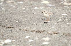 Piping Plover on the beach. An adult Piping Plover blends in with the sand at a beach in southern Connecticut Stock Images