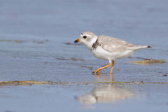 Piping Plover on the Beach stock photography