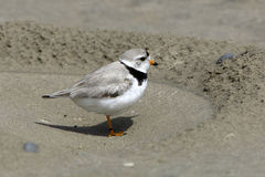 Piping Plover on Beach Royalty Free Stock Image