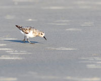 Piping plover stock images