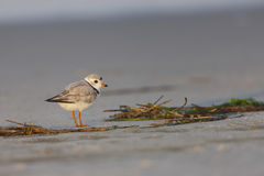 Piping Plover (Charadrius melodus) Royalty Free Stock Images