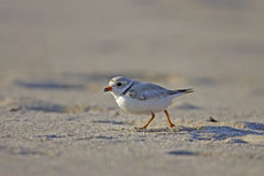 Piping Plover (Charadrius melodus). Running across sand Stock Images