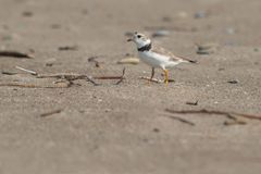 Piping Plover - Charadrius melodus. An endangered Piping Plover, keeping a wary eye out for danger. Hanlan`s Point, Toronto, Ontario, Canada royalty free stock photography