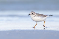 Piping Plover (Charadrius melodus) Stock Image
