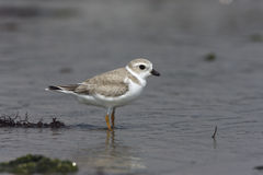Piping plover, Charadrius melodus Stock Photography