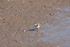 Piping Plover. The piping plover Charadrius melodus is a small sand-colored, sparrow-sized shorebird that nests and feeds along coastal sand and gravel beaches Stock Images