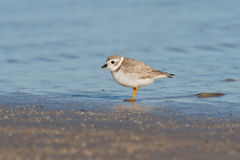Piping Plover (Charadrius melodus) Royalty Free Stock Photo