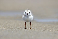 Free Piping Plover Chick Stock Image - 66170161