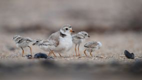 Piping Plover Chick on the Beach stock photos