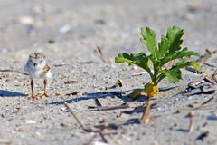 Piping Plover Chick On Beach Stock Image