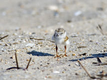 Piping Plover Chick On Beach Royalty Free Stock Photography