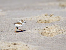 Piping Plover Chick On Beach. Piping Plover chick standing on the Beach next to foot prints in Cape May, NJ Stock Photos
