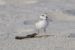 Piping Plover Chick on the Beach royalty free stock photography