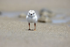 Piping Plover Chick Royalty Free Stock Image