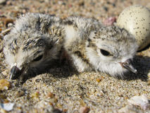 Piping plover hatchlings. Piping plover (Charadrius melodus) nest with two hatchlings and an egg. This nest was located along the Missouri River near Yankton Stock Photos