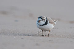 Piping Plover Royalty Free Stock Image