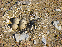 Piping Plover Nest. Piping plover (Charadrius melodus) nest on a sandy shore Royalty Free Stock Images