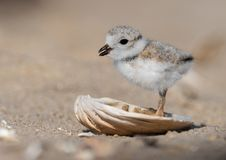 Piping Plover in New Jersey stock photo