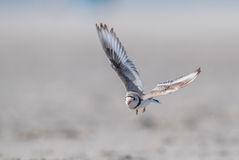 Piping Plover. A piping plover in New York Stock Photo