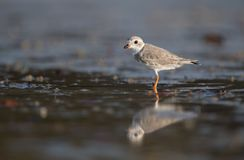 Piping Plover Portrait Stock Image