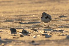Piping Plover Running at Sunset Stock Photo