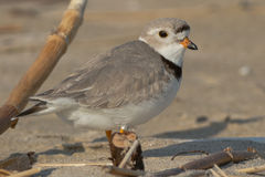 Piping Plover. Standing on the beach Stock Images