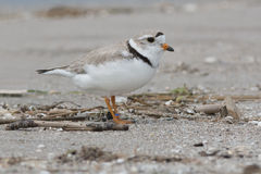 Piping Plover Royalty Free Stock Photography