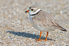 Piping Plover. Standing on the Beach in Cape May, NJ Stock Photos