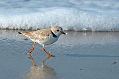 Piping Plover. Standing on the Beach in Cape May, NJ Royalty Free Stock Photos