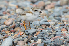 Piping Plover. Standing on a stoney beach stock photos
