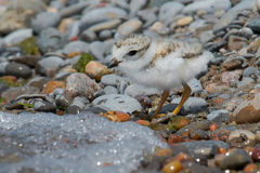 Piping Plover. Standing on a stoney beach royalty free stock images