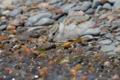 Piping Plover. Standing on a stoney beach stock photography