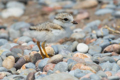 Piping Plover. Standing on a stoney beach stock image