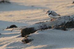 Piping Plover at Sunset royalty free stock photos